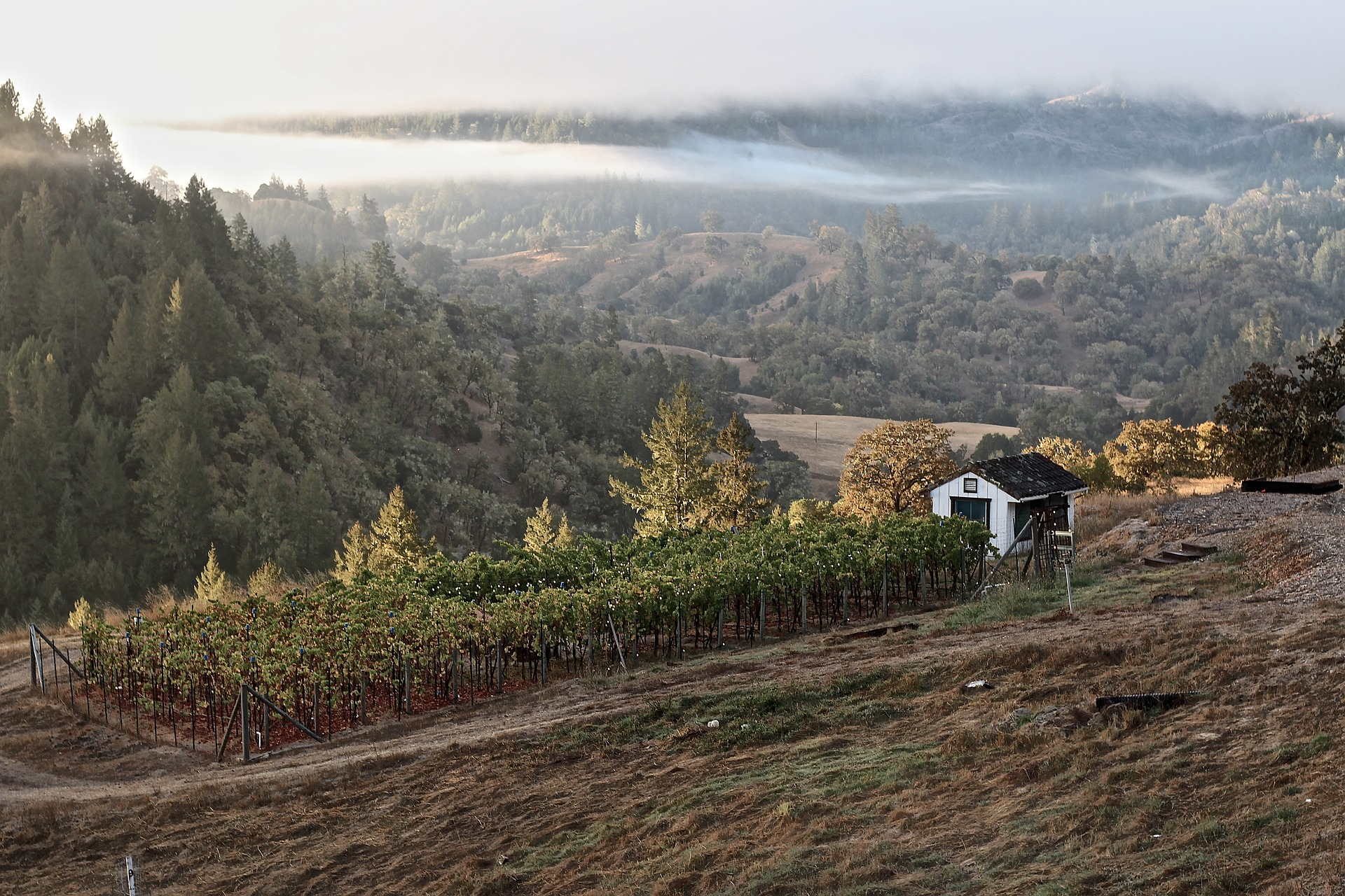 Fog Over Vineyard